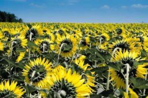 Popular Summer Sunflowers